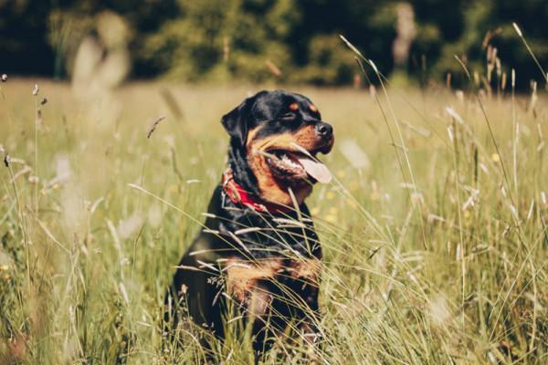 Blog_Leiky_Rottweiler
