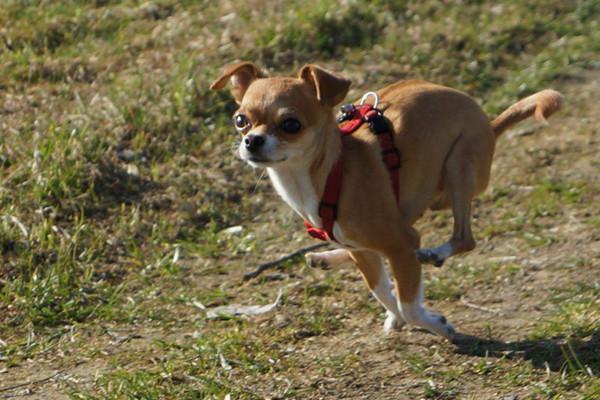 Blog_Leiky_Chihuahua